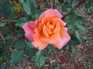 Rose de Posadas