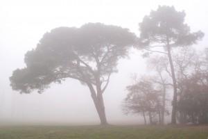 La Solitude Le pin parasol en lisière de la prairie dans la brume de  hiver Décembre 2005
