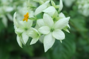 Fleur - Nagoda