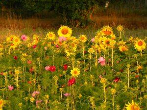 Fleurs de jachère (2)